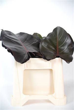 Philodendron Black Prince