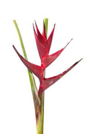 Heliconia Black Magic