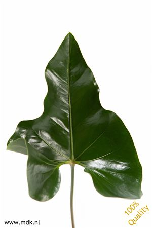 Anthurium Arrow Blad
