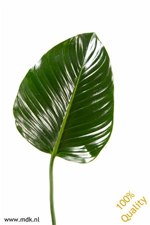 Philodendron Green Beauty Xl